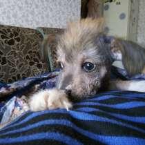 Продам щенка Китайской хохлатой, в Самаре