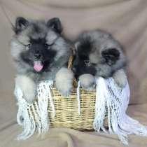 Продаются щенки вольфшпица/кеесхонда, в Глазове