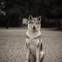 Чехословацкая волчья собака. Щенки, в Москве