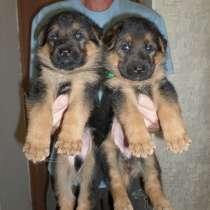 Продаются щенки немецкой овчарки, в Симферополе