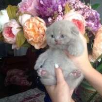 Вислоухие лиловые котята, в Санкт-Петербурге