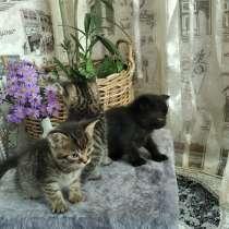 Отдам даромат котят от Британской кошки (метисы), в г.Борисполь