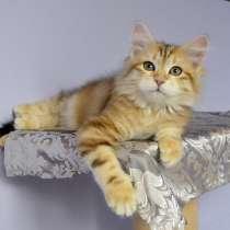 Сибирские котята золотых мраморных окрасов, в г.Южная Бостон