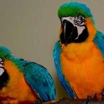Сине желтый ара - ручные птенцы из питомников европы, в Москве