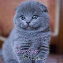вислоухие шотландские котята голубые и лиловые, в Санкт-Петербурге