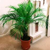Бесплатно ростки финиковой пальмы 3 шт, в Долгопрудном