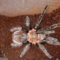 Продам коллекцию пауков птицеедов, в Екатеринбурге