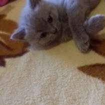 Продажа британских котят, в г.Селидово