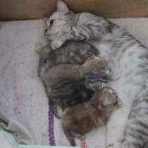 Продажа котят британцев-красавцев, в Самаре