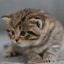 Британские котята, в г.Savyon