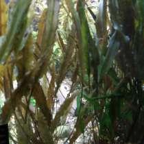 Криптокорина аквариумное растение, в Серпухове