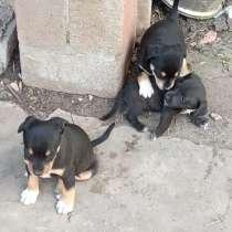 Отдам щенков в хорошие руки породы Карликовый Доберман, в г.Славянск