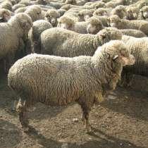 Стрижка овец, в Армавире