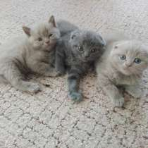 Продам шотландских котят, в Волгодонске