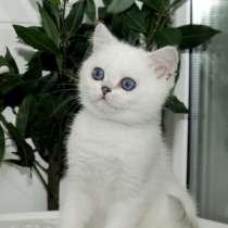 Британский малыш с синими глазками, в Ярославле