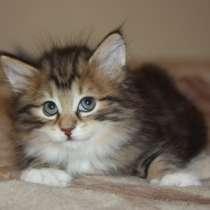 Курильский бобтейл - котята золотого окраса, в Краснодаре