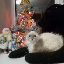 Кошечка породы Тряпичная кукла, в Екатеринбурге
