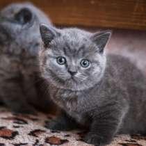 Британские котята, в Самаре