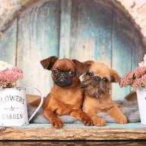 Питомник предлагает щенка брюссельского гриффона, мальчика, в г.Витебск