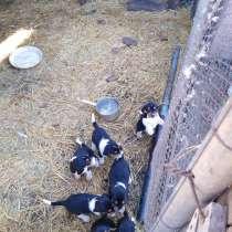 Продам щенков эстонские гончии, в Оренбурге