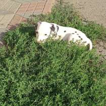 Продам щенка,3 месяца далматинец,паспорт,прививки,, в г.Луганск