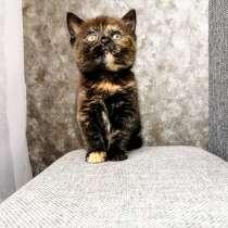 Продаю шотландскую кошечку, в г.Минск