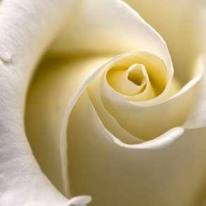 Цветы. Розы с лучших плантаций Эквадора, в Москве