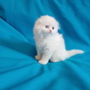 Белоснежный котик с разноцветными глазами, в Костроме