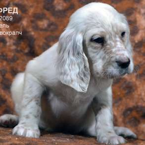Английский сеттер щенки из элитного питомника, в Москве