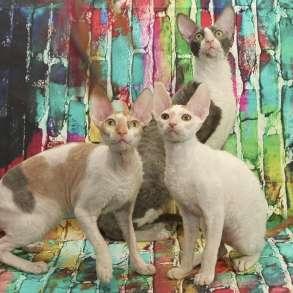 Котята и кошки корниш-рекс - радость в доме, в Москве