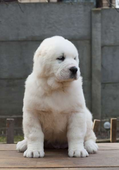 Puppies Asian sheep-dogs в