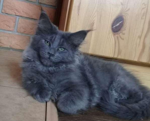 Котята мейн-кун в Уфе фото 3