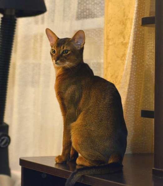 Абиссинский кот на вязку в Нижнем Новгороде фото 3