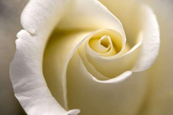 Розы от плантаций Эквадора