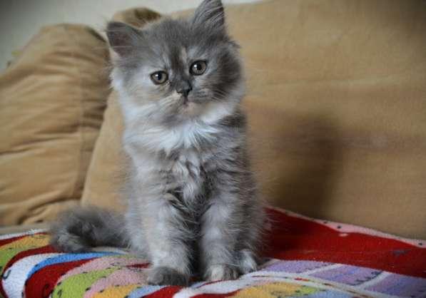 Очаровательная персидская кошечка