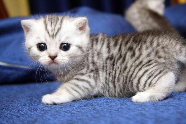 котята вискасного окраса в Санкт-Петербурге фото 6