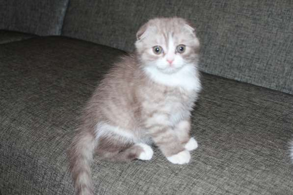 Шотландские котята в Таганроге фото 4