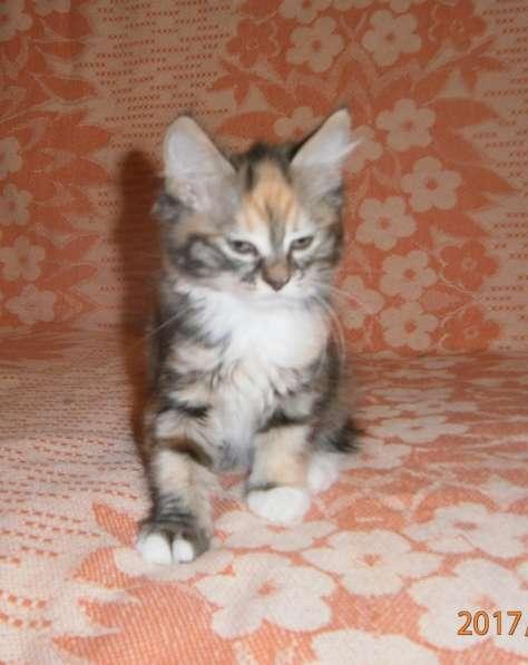 Котята курильского бобтейла в Тюмени фото 3