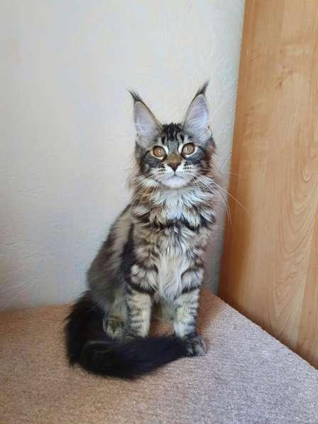 Котята Мейн-кун мальчики и девочки в фото 3