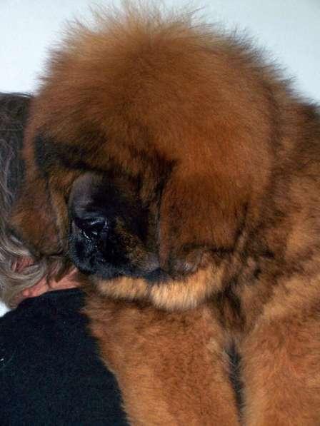 Щенки Тибетского мастифа из питомника в Уфе фото 5