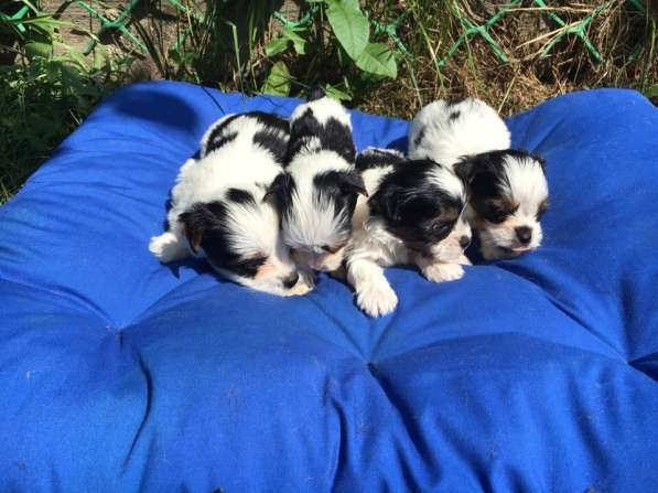 Продаются щенки бивер йоркширские терьеры