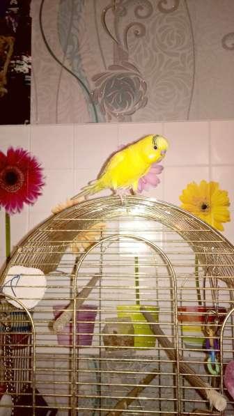 Волнистые попугаи-Самцы от 2х лет в Москве фото 3