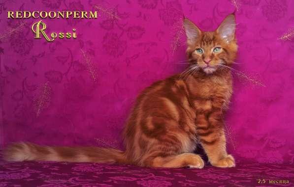 Котенок мейн кун красный солид. Шоу класс в Перми фото 8