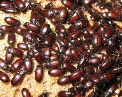 Продаю жуков-знахарей чернотелка