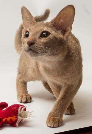 абиссискую кошечку
