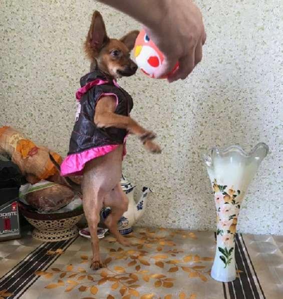 Той-терьера щенки бусинки в Москве фото 4