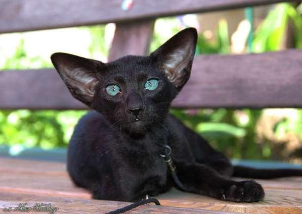 Ориентальные котята, белого, черного и пятнистого окраса
