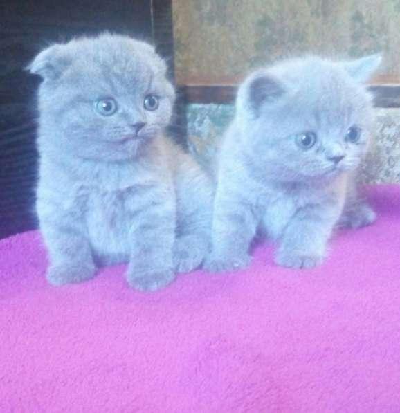 Продам чистокровных плюшевых шотландских котят в фото 3