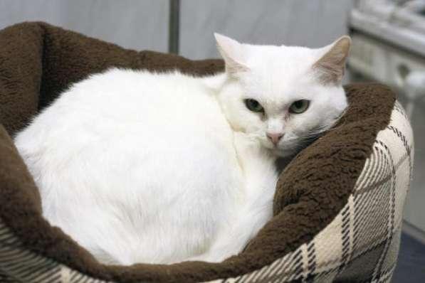 Прекрасная кошка по имени Сага в добрые руки!