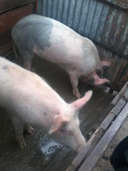 Продам поросят. свиноматку. цена договорная. мясные в